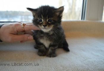 купить котенка мейн кун