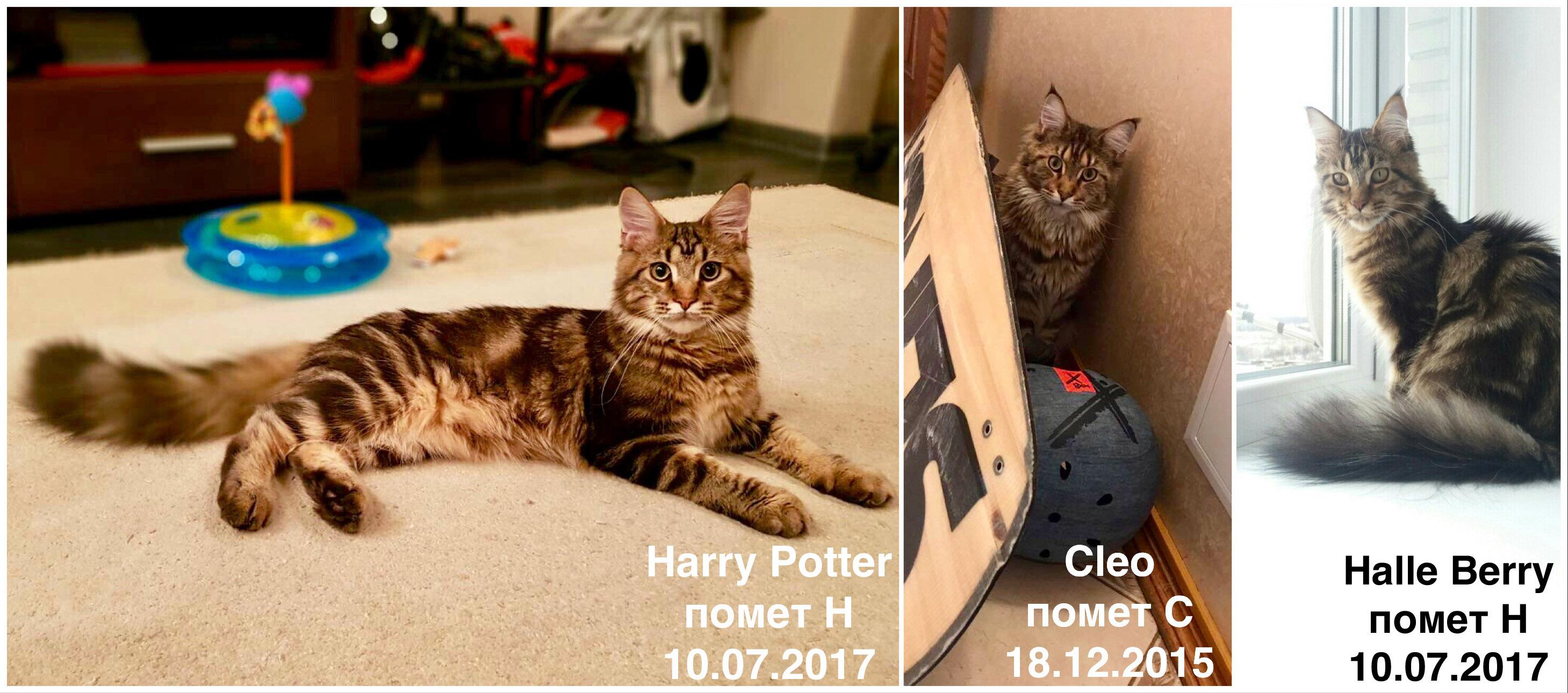 Как ухаживать за котенком мейн кун