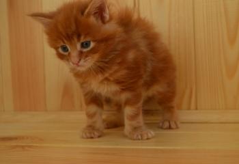 Котята Мейн-кун, Купить котенка мейн кун, Мейн-кун
