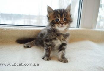 купить котенка мейн кун киев
