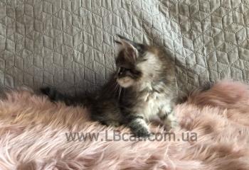 Купить котенка породы мейн кун