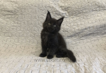 Купить породы котенка мейн кун