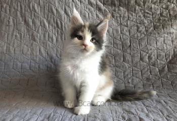 Купить кота