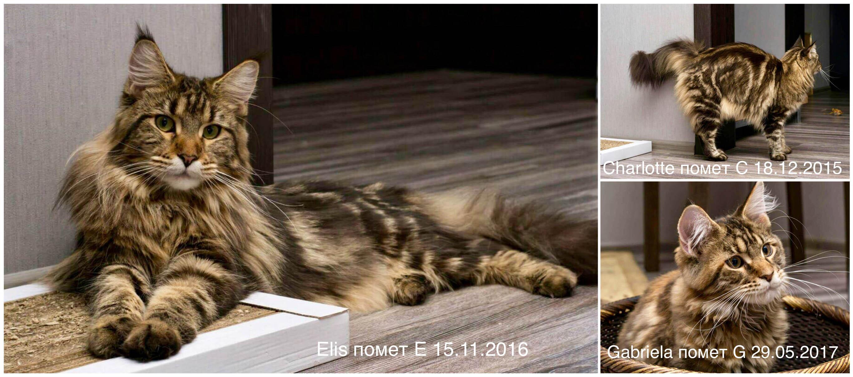 Купить котенка породы мейн кун киев